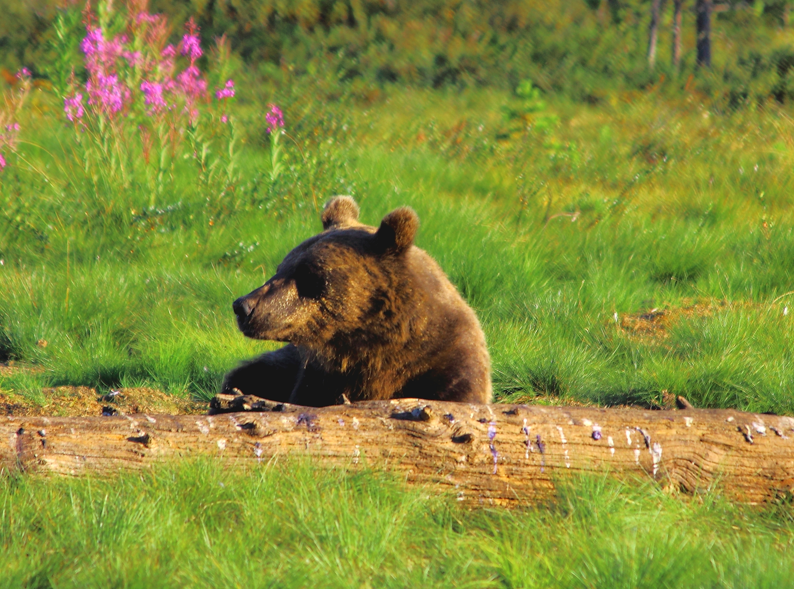 Russian Wildlife | Russia Wildlife Tours with Wildfoot |Native Animals From Russia